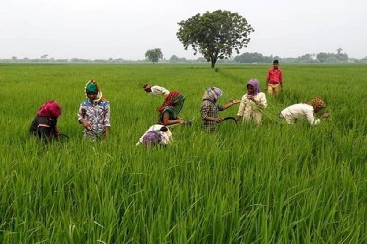 El arroz es el cultivo principal que se cultiva en la temporada de kharif, la siembra comienza con el comienzo de los monzones del suroeste a partir de junio.